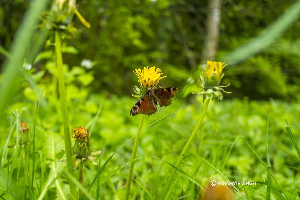Butterfly on wildflower in Safenwil