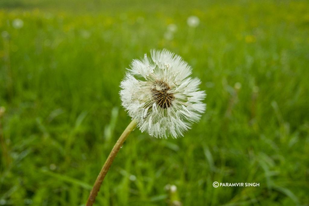 Daffodil in Safenwil