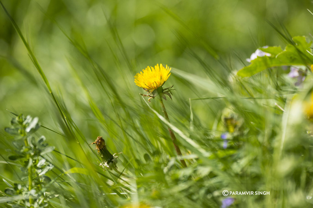 Wildflower in the meadows of Lucerne Alps.
