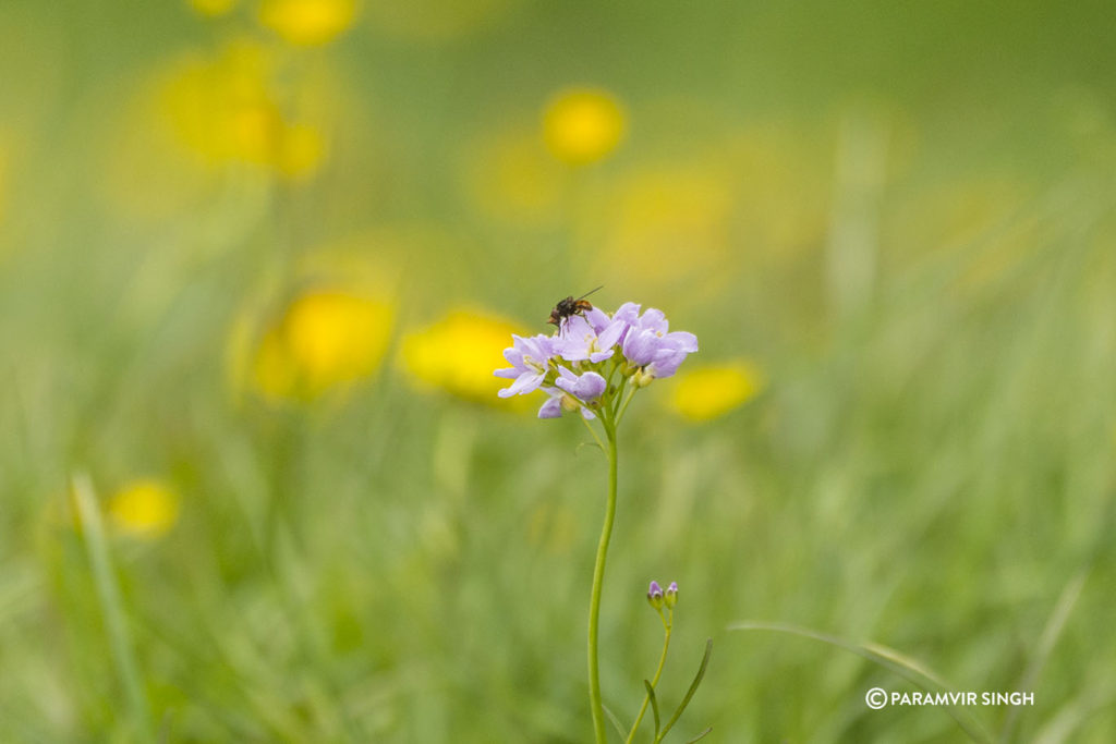 Another wild flower in the Alpine meadows in Lucerne.