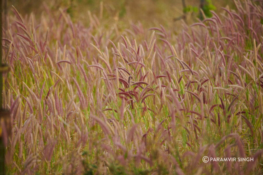 Wild Grass in Jhalana