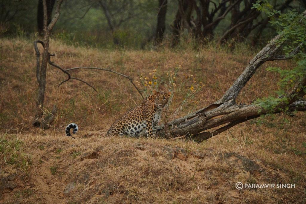 Leopard in dusk