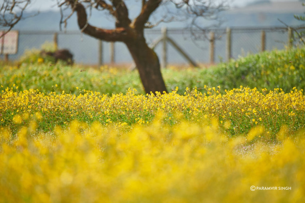 Meadow of Yellow Flowers at Kas Pathar