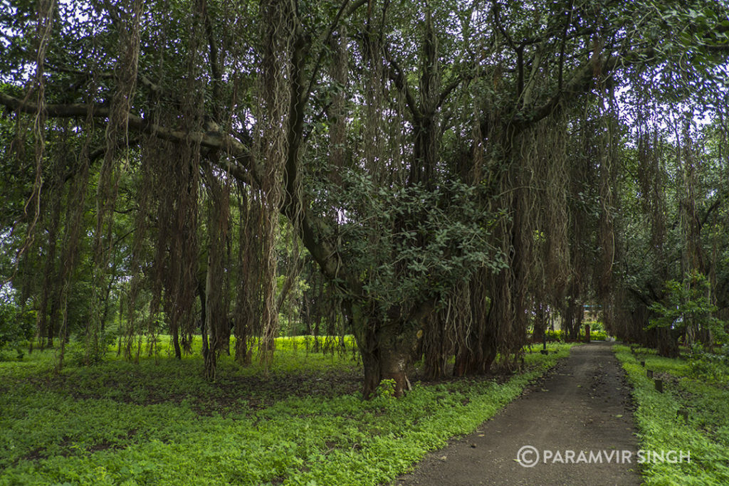 Banyan Trees Grove