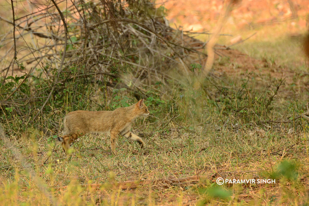Jungle Cat in Sariska