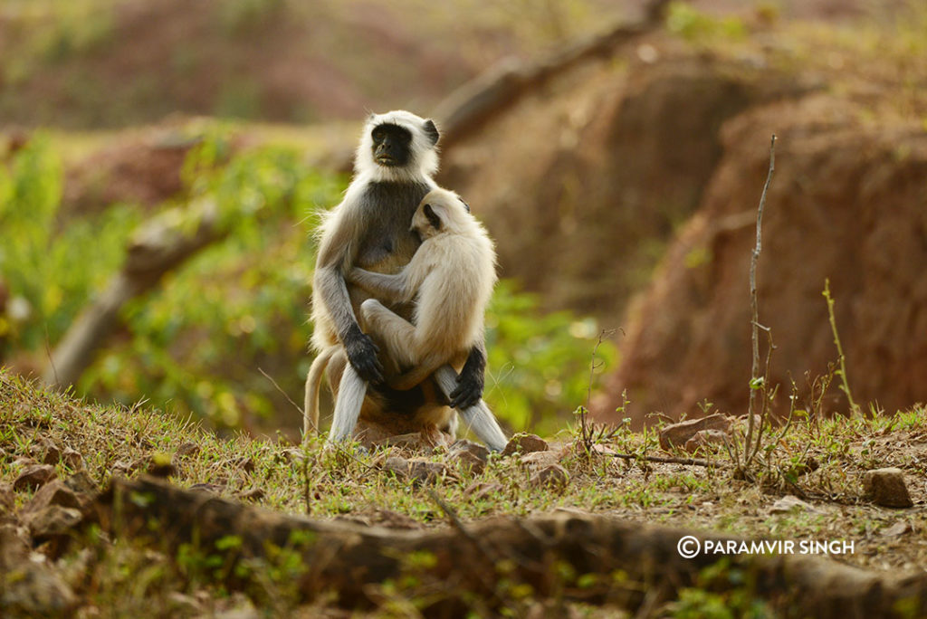Indian Grey Langur with child